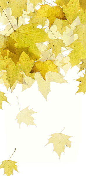 Yellow Maple leaves in fall